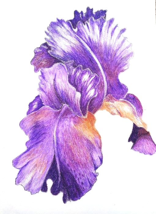 Ruffled Iris 5 x 7 Framed Pencil $95.00